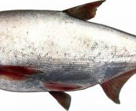 Món ăn từ cá mè tốt cho người biếng ăn tiêu hóa kém